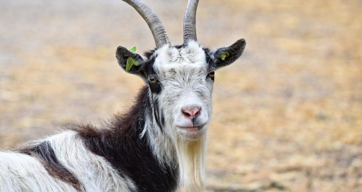 Best Indian Goat Breeds For Meat